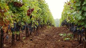 Grapes_038 stock footage