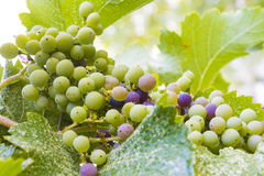 Grapes with rain drops in sunny day Royalty Free Stock Photography