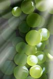 Grapes ready for harvest. Under sun beam Stock Image