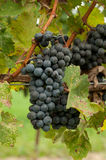 Grapes Ready for Harvest Stock Photography