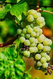 Grapes ready for harvesting on the river Mosel in Germany.  stock images