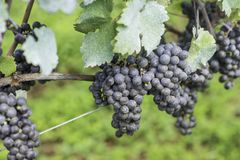 Grapes ready to be harvested for the next wine production royalty free stock image