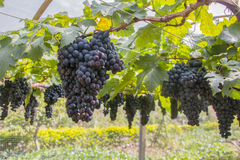 Grapes ready to be harvested at a vineyard. Purple red grapes with green leaves at a vineyard stock images