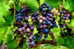 Grapes ready to harvest Royalty Free Stock Photography