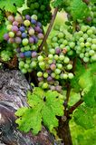 Grapes ready to harvest Royalty Free Stock Image