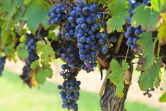 Grapes Ready to Harvest Hanging on a Grapevine. Grapes, European Vitis vinifera, ready to harvest on a Grapevine on Childress Vineyards stock images