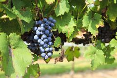 Grapes Ready to Harvest Hanging on a Grapevine. Grapes, European Vitis vinifera, ready to harvest on a Grapevine on Childress Vineyards royalty free stock photography