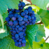 Grapes ready to harvest made by a vintner Stock Photos