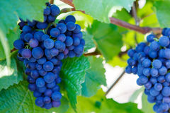 Grapes ready to harvest made by a vintner Stock Photo