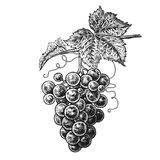 Grapes. Realistic hand drawing. vector illustration