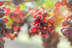 Grapes red in the  garden. Royalty Free Stock Photography