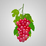 Grapes red illustration Royalty Free Stock Photo