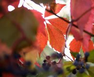 Grapes red leaves branch garden sunlight. Garden autumn branch grapes red leaves close-up macro texture abstract light stock photography