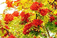 Grapes of red mountain ash on the branches of a tree. In the sunlight. Sunny toned stock photography