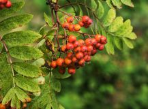 Bunches of red mountain ash in green foliage. Grapes of red mountain ash among green foliage royalty free stock image