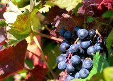 Grapes of a red variety just before harvest royalty free stock images