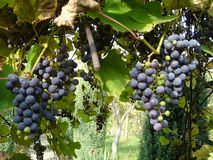GRAPES WITH RED VINE. BLUE GRAPES HEADER IMAGE ON VINE royalty free stock photo