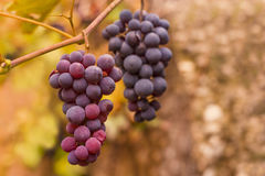 Bunch of grapes. Bunch of ripening grapes in vineyard stock image