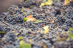 Grapes for red wine at the winery Royalty Free Stock Images