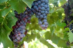 Grapes of Red Wine in a Wineyards in autumn in Tuscany, Chianti, Italy. Wineyards in Tuscany, vinegrapes, and leaves vine. Chianti region, in Tuscany, Italy stock photography