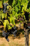 Grapes of red wine, Wineyards in Tuscany, Chianti, Italy. Wineyards in Tuscany, vinegrapes, and leaves vine. Chianti region, in Tuscany, Italy royalty free stock photos