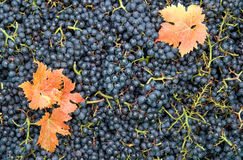 Grapes red yellow autumn leaves Vine harvest Royalty Free Stock Photo