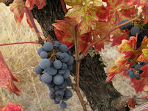 Grapes remaining after the harvest. Clusters of grapes remain on the vine after the harvest Stock Image