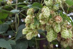 Grapes of ripe hops on bush. Grapes of ripe hops. Raw materials for brewing. A brew of alcohol. Product for beer production. Plant for brewing. Kidney hops stock image