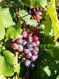 Grapes. Ripe grapes on vine sunshine Stock Photography