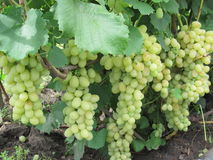 Grapes. Ripen on the branch Royalty Free Stock Photos