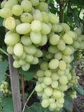 Grapes. Ripen on the branch Stock Photography
