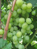 Grapes. Ripen on the branch Stock Photo