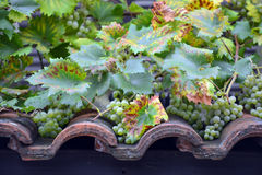 Grapes ripen on the roof tiles Royalty Free Stock Photos