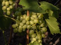 Picturesque bunches of grapes are lit by sunlight. Scenic view. royalty free stock photography