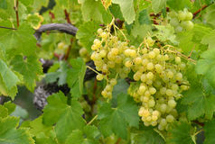 Grapes ripen on the tree Royalty Free Stock Images