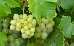 Grapes ripen on the tree Royalty Free Stock Image
