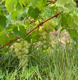 Grapes ripen on the tree Stock Images