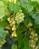 Grapes ripen on the tree Royalty Free Stock Photography
