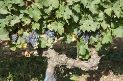Grapes Ripening. Red grapes growing in a vineyard in France Royalty Free Stock Photography