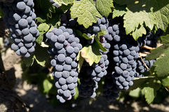 Grapes Ripening for Harvest Royalty Free Stock Photos