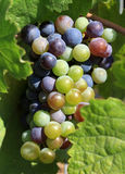 Grapes ripening on the vine. A fine bunch of grapes ripening on the vine in a Cretan, Greek, vinyard Stock Photos