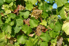 Grapes ripening on vine. Bunches of grapes ripening on the vine in Luxembourg Royalty Free Stock Image