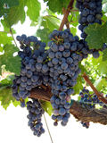 Grapes ripening on the vine Stock Photos