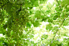 Grapes ripening on the vine canopy, typical Abruzzo Stock Image