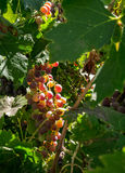Grapes ripening on the vine Stock Photography