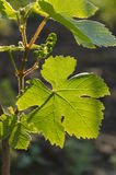 Grapes. The rising sun through the vine leaf Royalty Free Stock Photo