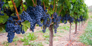 Farmers Vineyard Fruit Food Grapes Vines Row Stock Photography