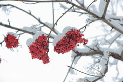 Grapes of rowan under the snow. Royalty Free Stock Photography