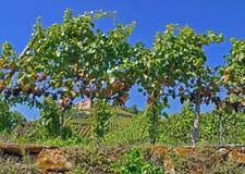 Grapes and ruins Royalty Free Stock Photos