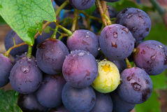 The grapes. It's a bunch of black grapes Royalty Free Stock Image